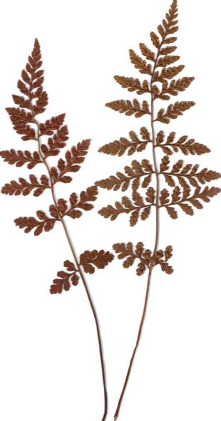 Pressed fern fronds