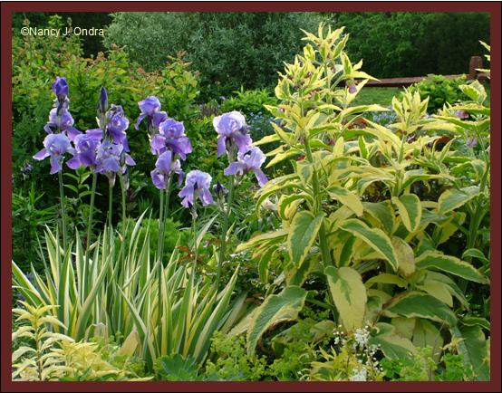 Iris pallida Aureovariegata and Symphytum Axminster Gold May 28 08