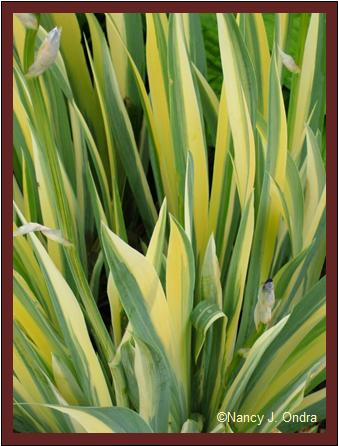 Iris pallida 'Variegata' foliage mid May 07