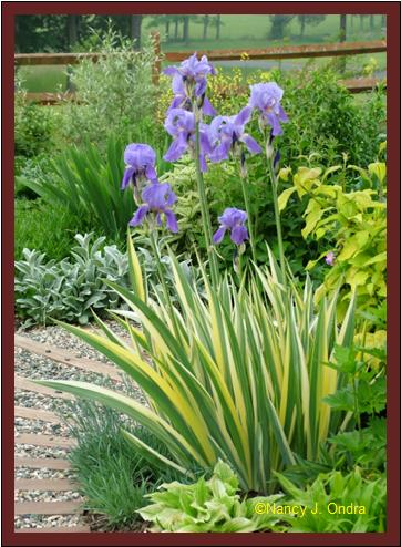 Iris pallida \'Variegata\' late May 07