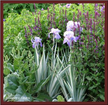 Iris pallida \'Argentea Variegata\' with Salvia \'Caradonna\' and Salvia argentea May 28 08