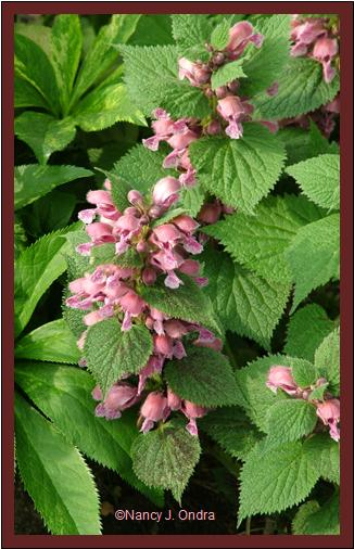 Lamium orvala in bloom late May 07