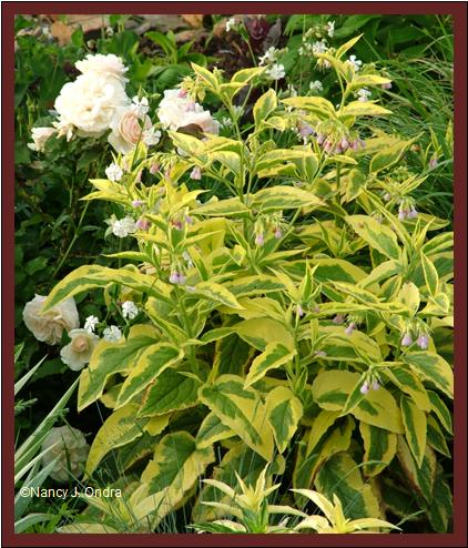 Symphytum \'Axminster Gold\' with Rosa \'Guinevere\' late May 07