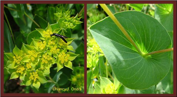 Bupleurum rotundifolium bloom and leaf closeup June 27 08