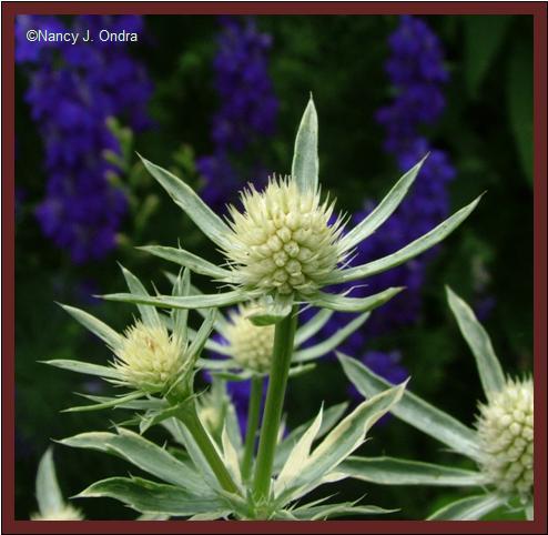 Eryngium \'Jade Frost\' blooms June 27 08
