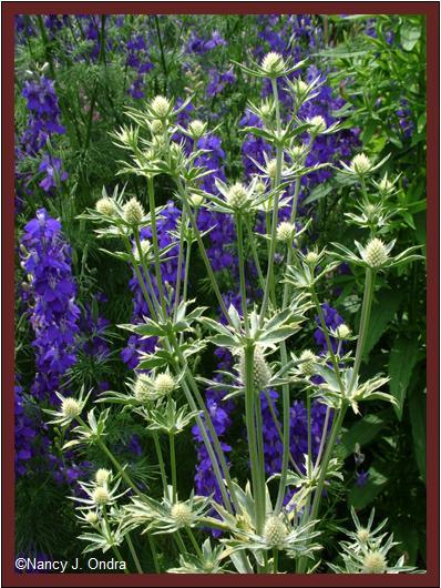 Eryngium planum \'Jade Frost\' habit June 27 08