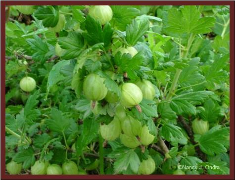 Gooseberries ripening June 8 08