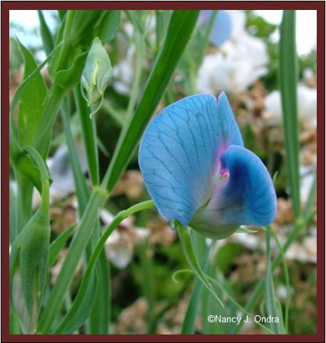 Lathyrus sativus bloom June 24 08