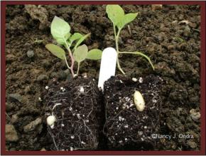 Potato 'Catalina' seedlings with tubers June 6 08