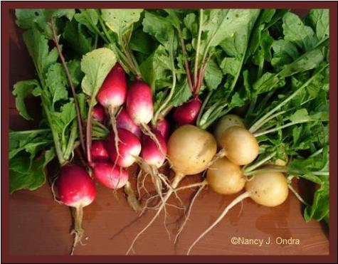Radishes 'French Breakfast' and 'Zlata' June 8 08