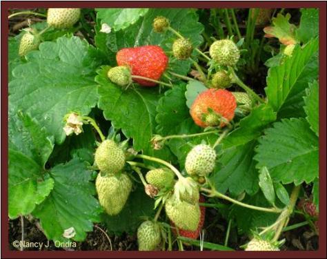 Strawberry 'Sarian' June 8 08