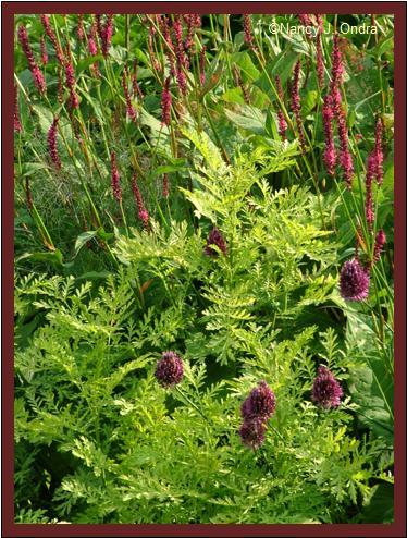 Allium sphaerocephalon with Tanacetum Isla Gold and Persicaria Taurus July 14 08
