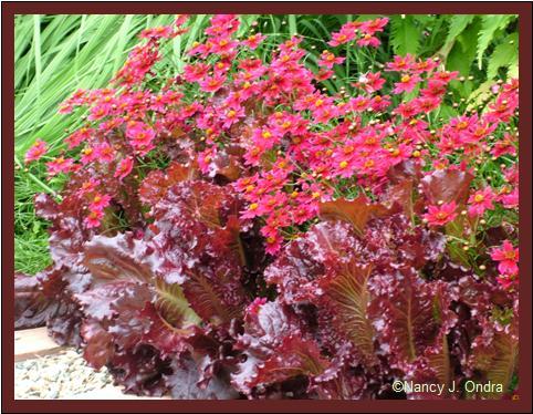 'Limerock Ruby' coreopsis with 'Merlot' lettuce July 14 08