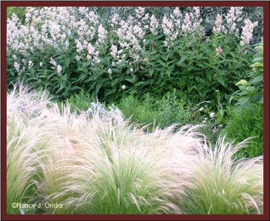 pony-tail-grass-stipa-tenuissima-with-persicaria-polymorpha-june-26-08.jpg