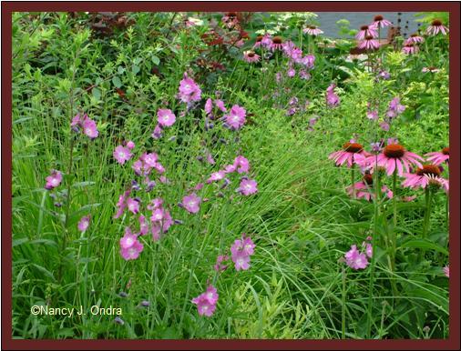 Checkerbloom (<em>Sidalcea malviflora</em>) and purple coneflower (<em>Echinacea purpurea</em>) July 14 08