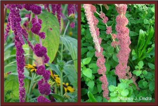 Amaranthus caudatus 'Pony Tails' (left) and 'Coral Fountains' (right)