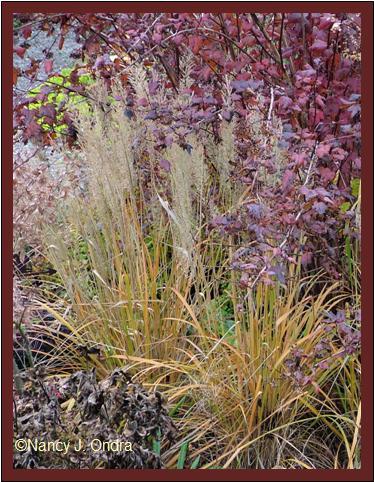 calamagrostis-brachytricha-nov-12-08
