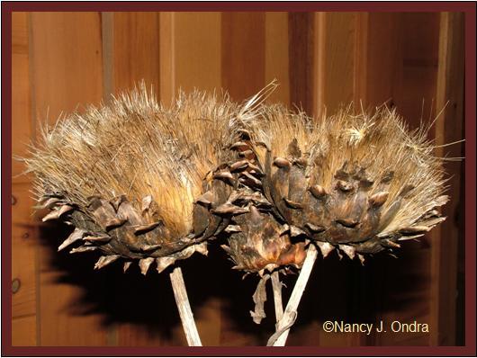 cardoon-seedheads