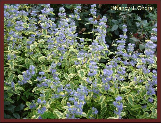 caryopteris-summer-sorbet-flowers-aug-08
