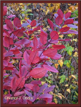 cotinus-grace-nov-12-08