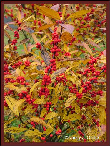 ilex-verticillata-winter-red-nov-12-08