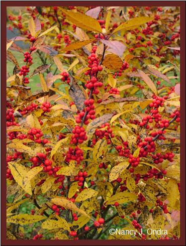 ilex-verticillata-winter-red-nov-12-08