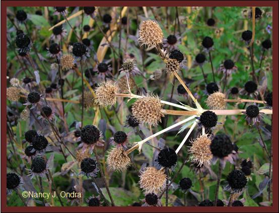 rudbeckia-fulgida-and-eryngium-yuccifolium-late-oct-08