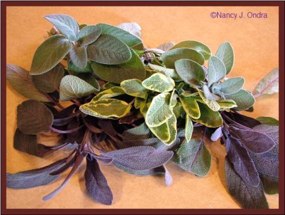 salvia-officinalis-cultivars-nov-21-08