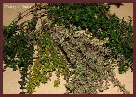 thymus-cultivars-nov-21-08