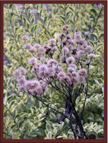 vernonia-seedhead-nov-12-08
