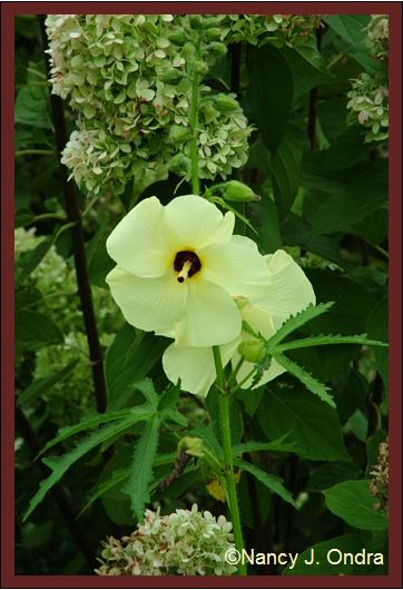 abelmoschus-manihot-bloom-aug-08
