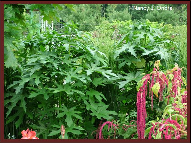 abelmoschus-manihot-foliage-mid-aug-08