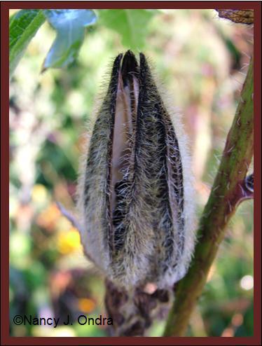 abelmoschus-manihot-seedpod