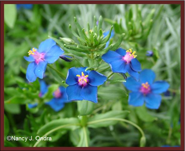 anagallis-monelii-closeup-july-08