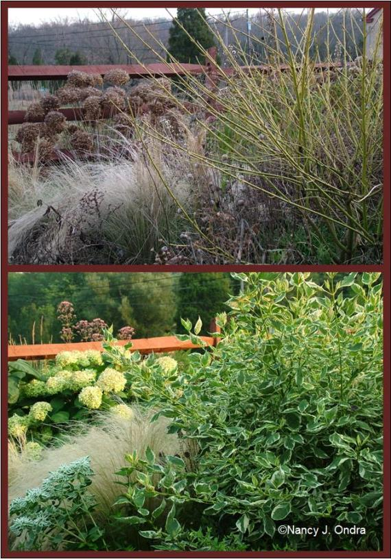 cornus-stipa-and-hydrangea-july-and-dec-08