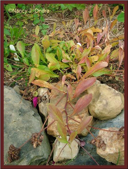scorpiurus-muricatus-plant-aug-08