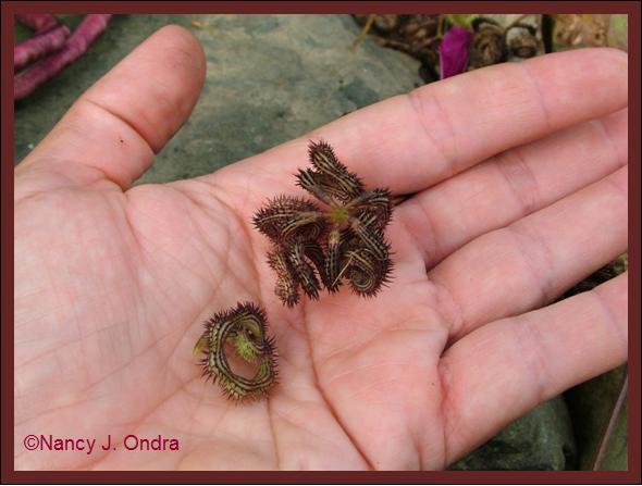 scorpiurus-muricatus-seedpods-aug-08