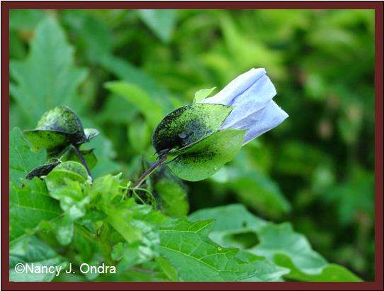 nicandra-physalodes-soc-flower-sept-08