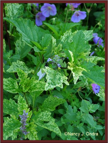 nicandra-physalodes-soc-foliage-july-08