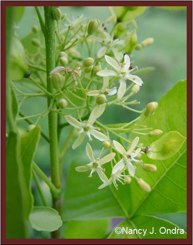 ptelea-trifoliata-aurea-flowers-oct-08