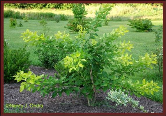 ptelea-trifoliata-aurea-habit-oct-08