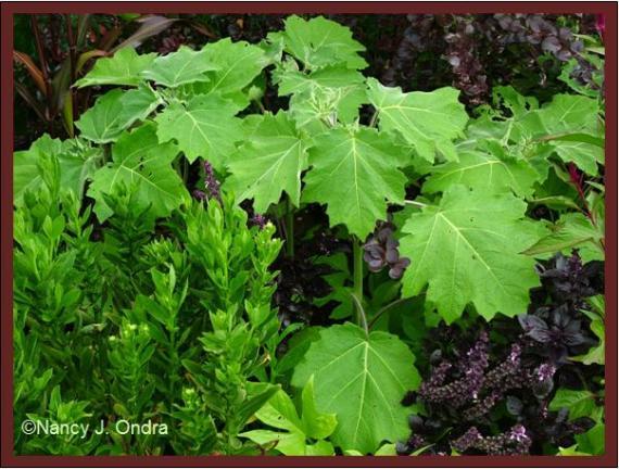solanum-mammosum-foliage-sept-08
