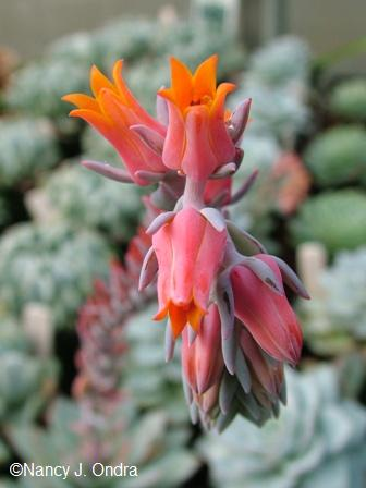 echeveria-peacockii