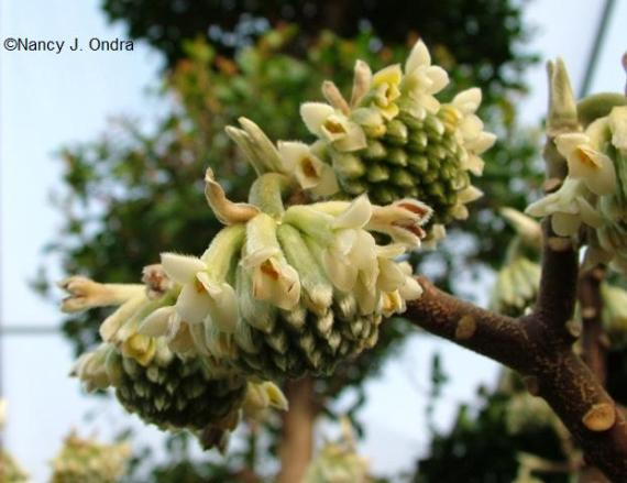 edgeworthia-chrysantha
