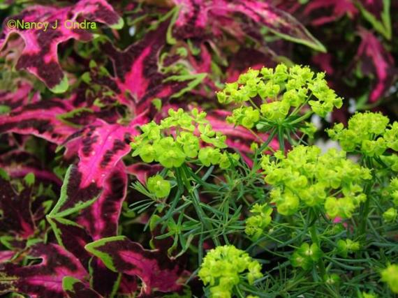 euphorbia-fens-ruby-and-coleus