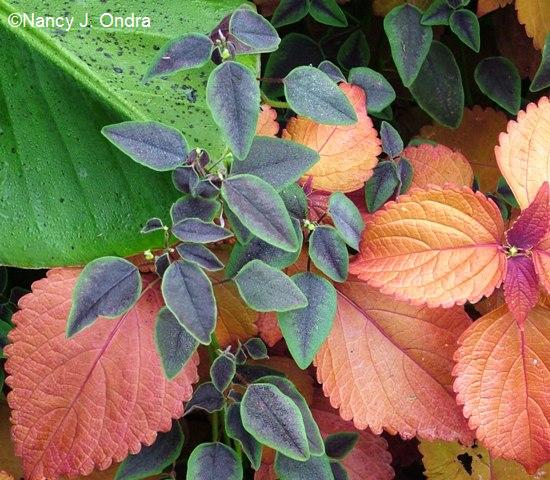 euphorbia-flame-coleus-sedona-sept-9-05