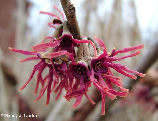 hamamelis-vernalis-purpurea-feb-14-09