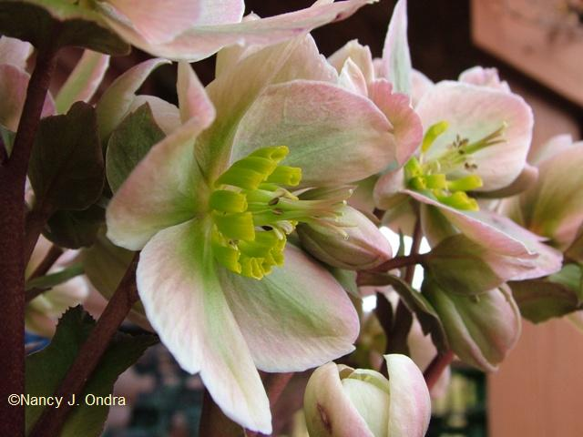 helleborus-ivory-prince-march-14-09