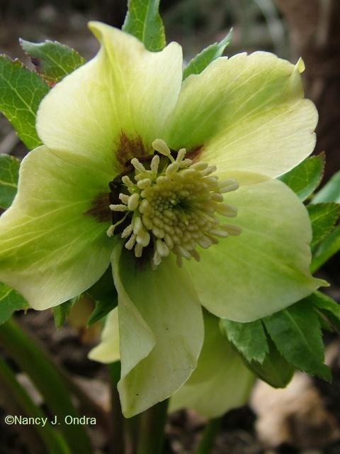 helleborus-x-hybridus-orion-type-march-14-09