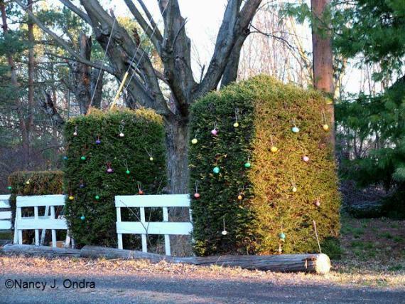 ova-on-evergreens
